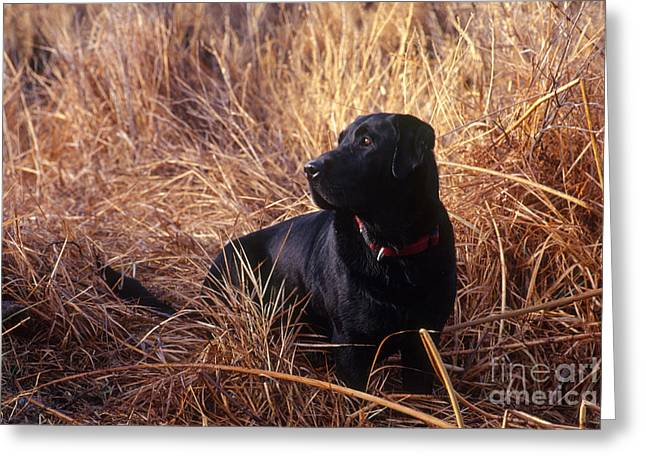 Canid Greeting Cards - Black Labrador Retriever Greeting Card by William H. Mullins