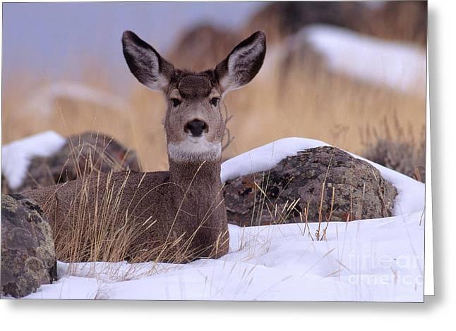 Deer In Snow Greeting Cards - Blacktail Or Mule Deer Greeting Card by Art Wolfe