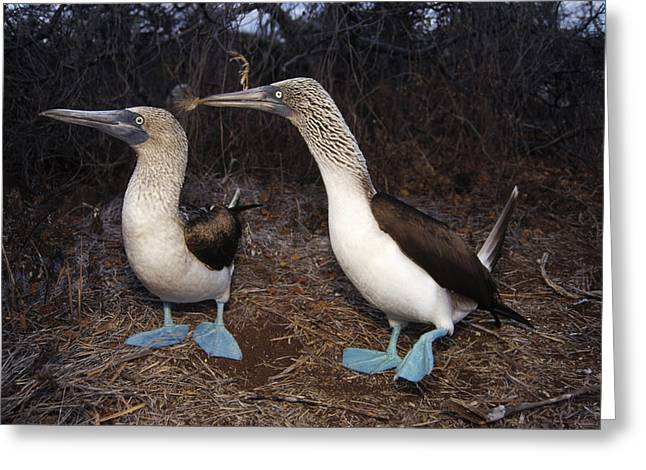 Wildlife Celebration Greeting Cards - Blue-footed Boobies Courting  Galapagos Greeting Card by Tui De Roy
