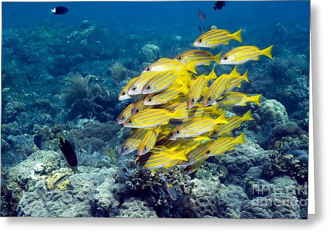 Reef Fish Greeting Cards - Bluelined Snappers Greeting Card by Georgette Douwma