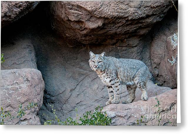 Bobcat Greeting Card by Mark Newman