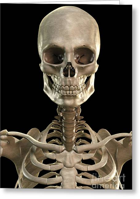Notched Collar Greeting Cards - Bones Of The Head And Upper Thorax Greeting Card by Science Picture Co