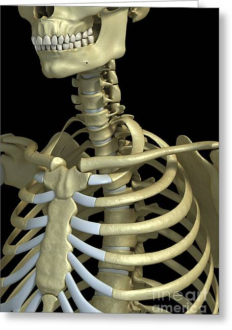 Cervical Vertebrae Greeting Cards - Bones Of The Upper Thorax Greeting Card by Science Picture Co