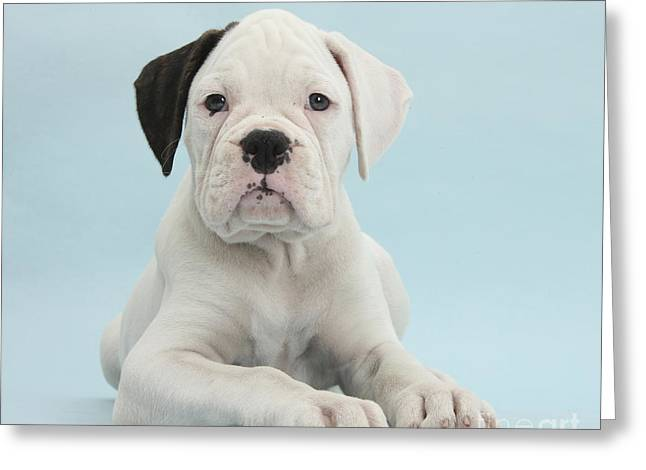 House Pet Greeting Cards - Boxer Puppy Greeting Card by Mark Taylor