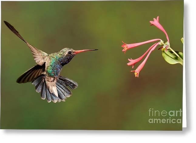 Broad Billed Hummingbird Greeting Card by Scott Linstead