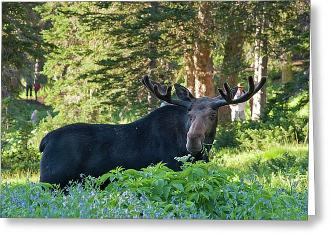 Bull Moose (alces Alces Greeting Card by Howie Garber