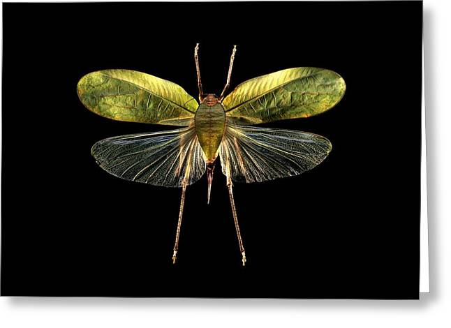 Black Top Greeting Cards - Bush-cricket Greeting Card by Science Photo Library