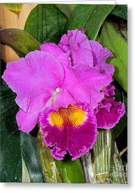 Cattleya Orchid Greeting Cards - Cattleya Greeting Card by Millard H. Sharp