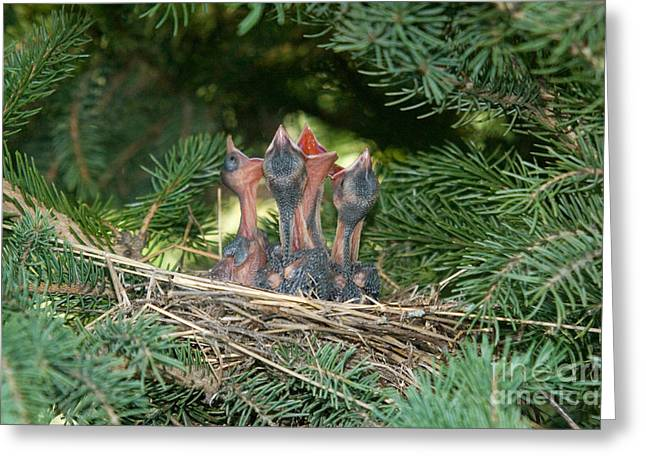 Cedar Waxwings Greeting Card by Linda Freshwaters Arndt