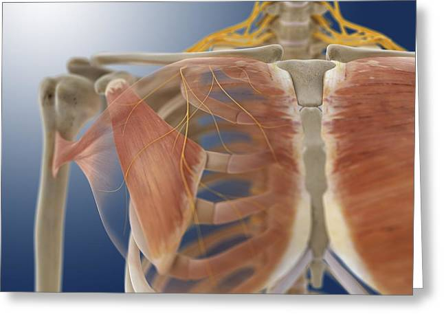 Musculocutaneous Nerves Greeting Cards - Chest muscles, artwork Greeting Card by Science Photo Library