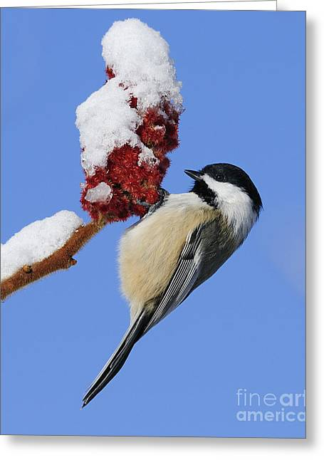 Snow Capped Greeting Cards - Chickadee Love... Greeting Card by Nina Stavlund