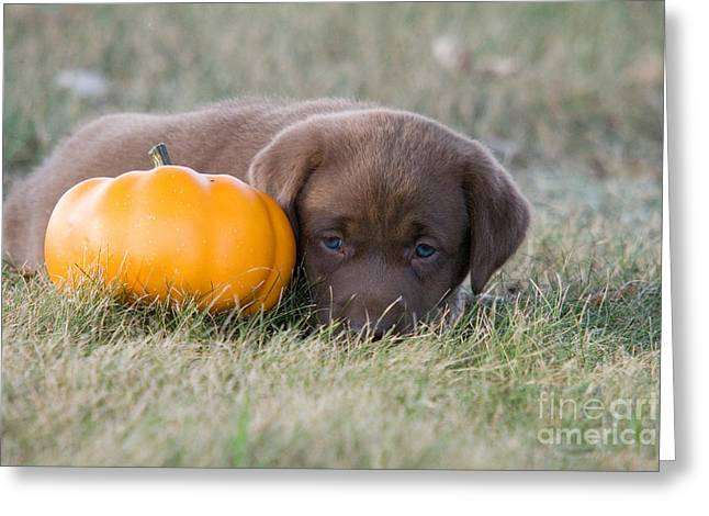 Chocolate Lab Greeting Cards - Chocolate Labrador Puppy Greeting Card by Linda Freshwaters Arndt