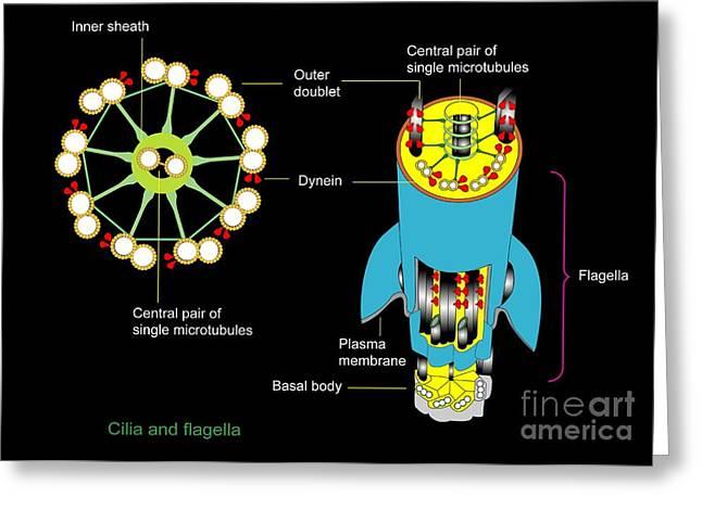 Flagella Greeting Cards - Cilium And Flagellum Structure, Artwork Greeting Card by Francis Leroy, Biocosmos