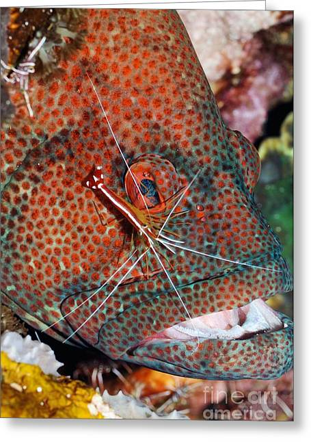 Commensal Shrimp Greeting Cards - Cleaner Shrimp On A Grouper Greeting Card by Georgette Douwma