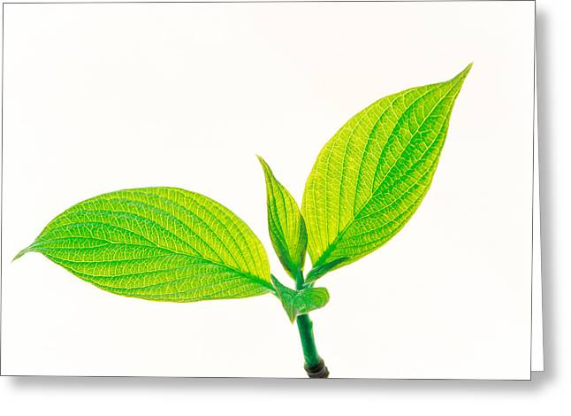 Green Leafs Greeting Cards - Close Up Of Green Leaves On Light Grey Greeting Card by Panoramic Images