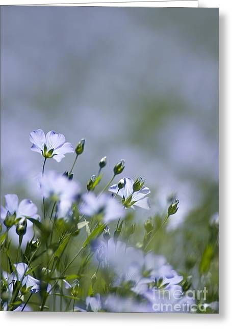 Lint Greeting Cards - Common Flax Linum Usitatissimum Greeting Card by Adrian Bicker