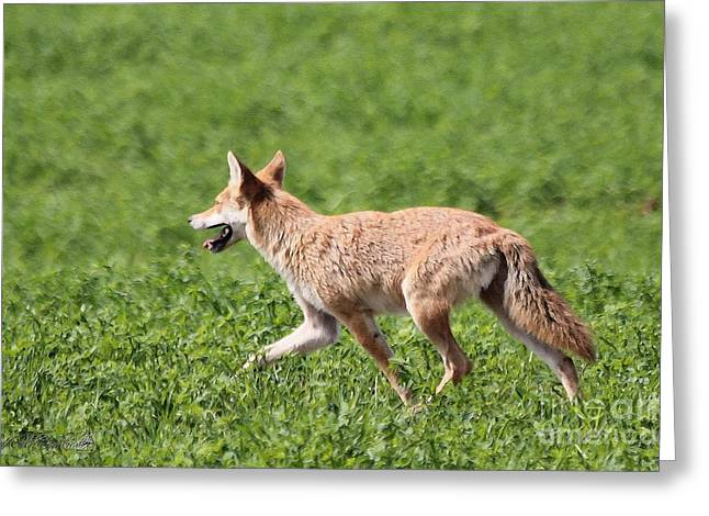 Brush Wolf Greeting Cards - Coyote Greeting Card by J McCombie