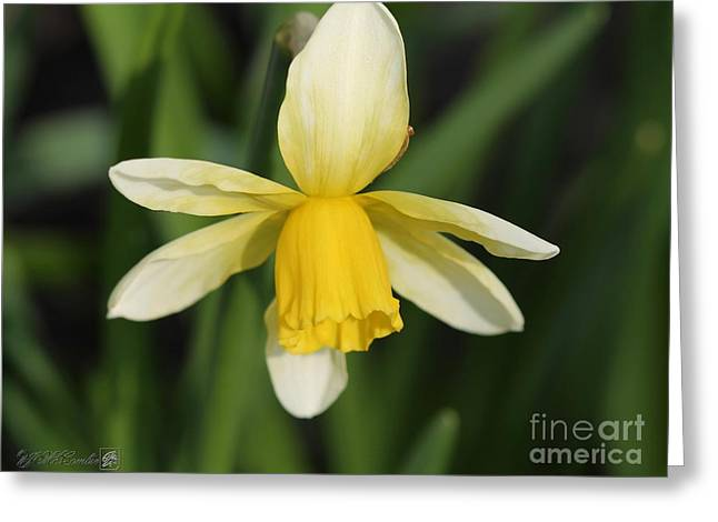 Jack Lemon Greeting Cards - Cyclamineus Daffodil named Jack Snipe Greeting Card by J McCombie