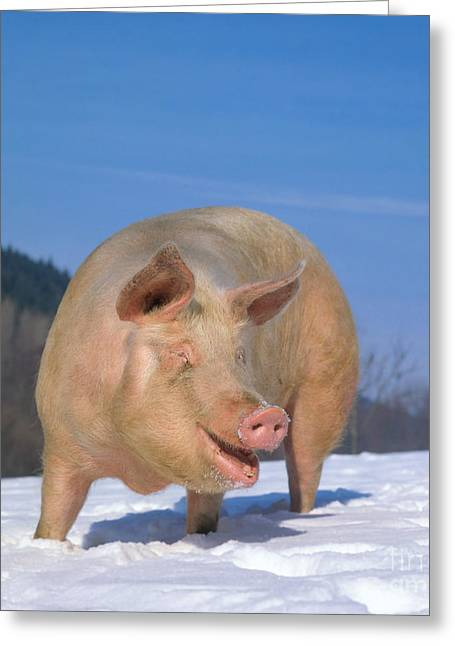 Barn Yard Greeting Cards - Domestic Pig Greeting Card by Hans Reinhard