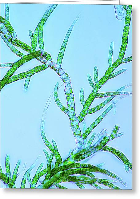 Draparnaldia Green Algae Greeting Card by Marek Mis