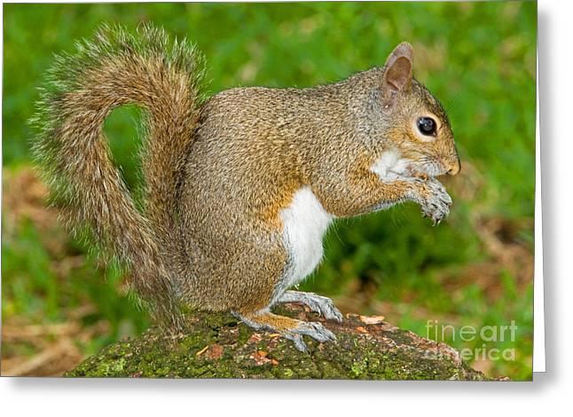 Eastern Grey Squirrel Greeting Cards - Eastern Gray Squirrel Greeting Card by Millard H. Sharp