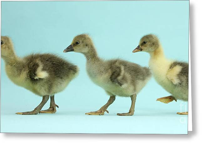 Greylag Greeting Cards - Embden X Greylag Goslings Greeting Card by Mark Taylor