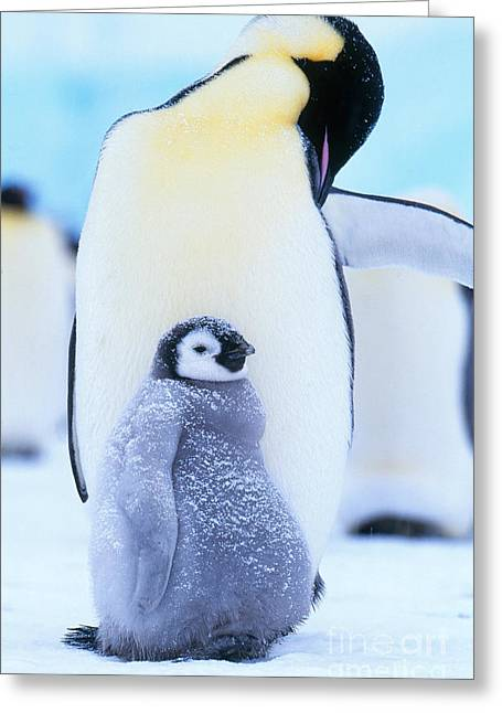 Preening Greeting Cards - Emperor Penguins Greeting Card by Art Wolfe