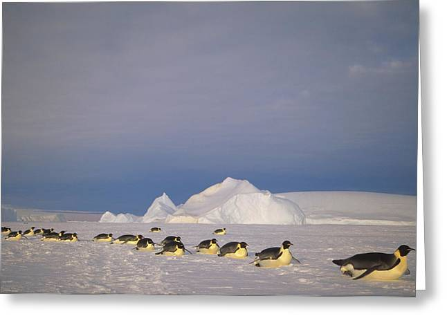 Kemp Greeting Cards - Emperor Penguins Tobogganing Antarctica Greeting Card by Tui De Roy