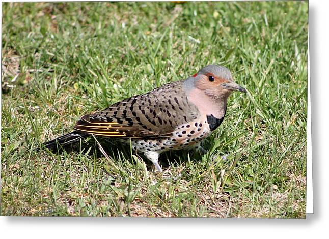 Morph Greeting Cards - Female Yellow-shafted Northern Flicker Greeting Card by J McCombie