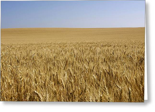 Blond Greeting Cards - Field of wheat Greeting Card by Bernard Jaubert