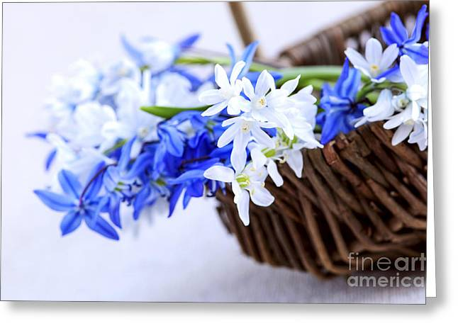 Easter Flowers Greeting Cards - First spring flowers Greeting Card by Elena Elisseeva