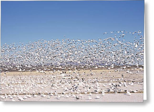 Flock Of Bird Greeting Cards - Flock Of Snow Geese Flying, Bosque Del Greeting Card by Panoramic Images