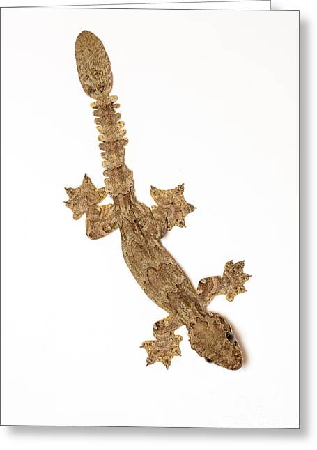 Silhouettable Greeting Cards - Flying Gecko Greeting Card by Scott Linstead