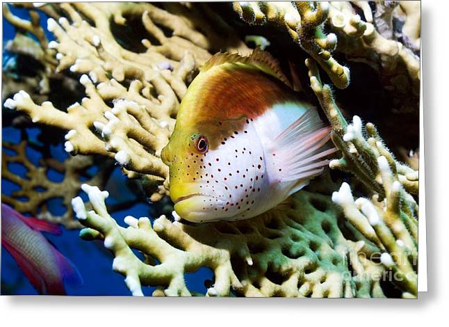 Freckles Greeting Cards - Freckled Hawkfish Greeting Card by Georgette Douwma