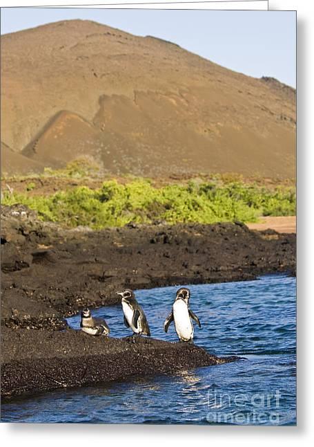Galapagos Birds Greeting Cards - Galapagos Penguins Greeting Card by William H. Mullins
