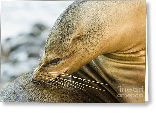 Sea Lions Greeting Cards - Galapagos Sea Lion Greeting Card by William H. Mullins