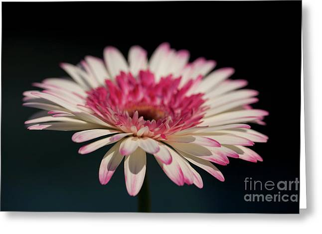 Watermelon Greeting Cards - Gerbera Greeting Card by Amanda Barcon