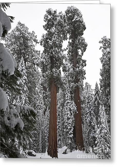 Giant Sequoia Greeting Cards - Giant Sequoias Greeting Card by Gregory G. Dimijian, M.D.