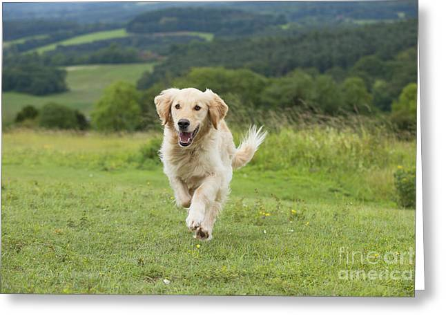 Canid Greeting Cards - Golden Retriever Greeting Card by John Daniels