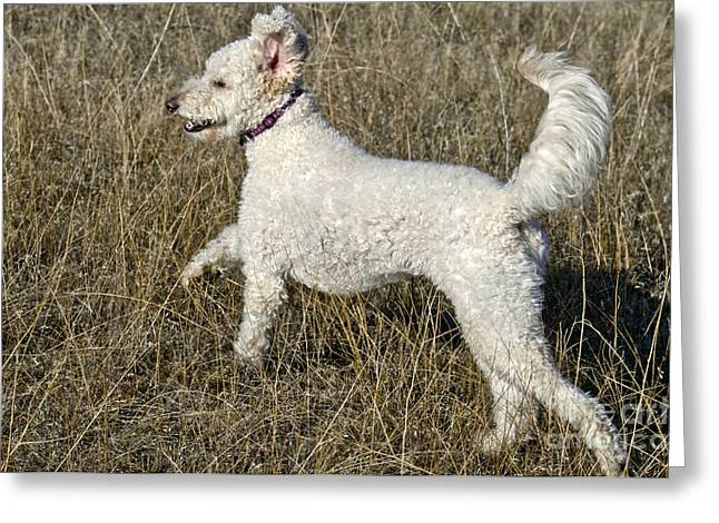 Cross Breed Greeting Cards - Goldendoodle Running Greeting Card by William H. Mullins
