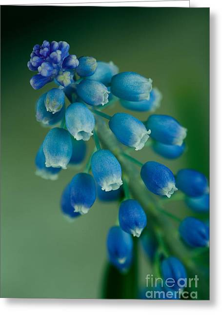 Purple Grapes Photographs Greeting Cards - Grape Hyacinth Greeting Card by Nailia Schwarz