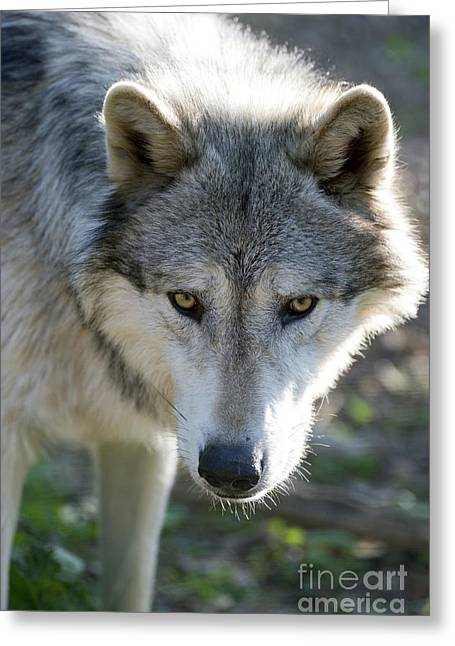 Cognition Greeting Cards - Gray Wolf Greeting Card by Louise Murray