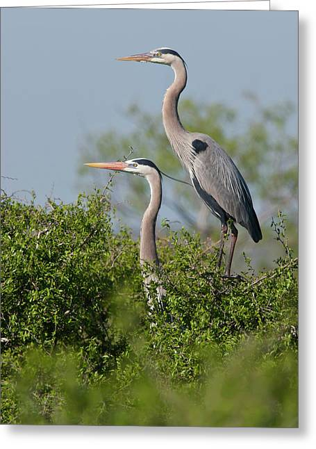 Great Blue Heron (ardea Herodias Greeting Card by Larry Ditto
