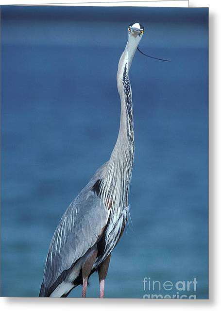 Ardea Greeting Cards - Great Blue Heron Greeting Card by Ron Sanford
