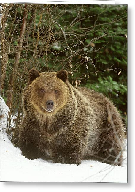 Wildlife In Captivity Greeting Cards - Grizzly Bear Greeting Card by Art Wolfe