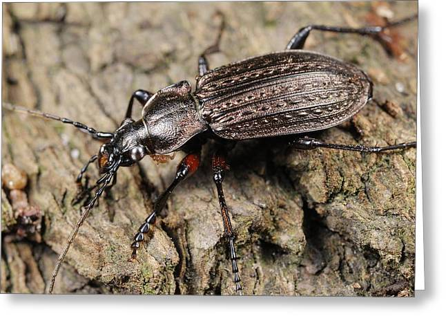 Granulatus Greeting Cards - Ground beetle Greeting Card by Science Photo Library