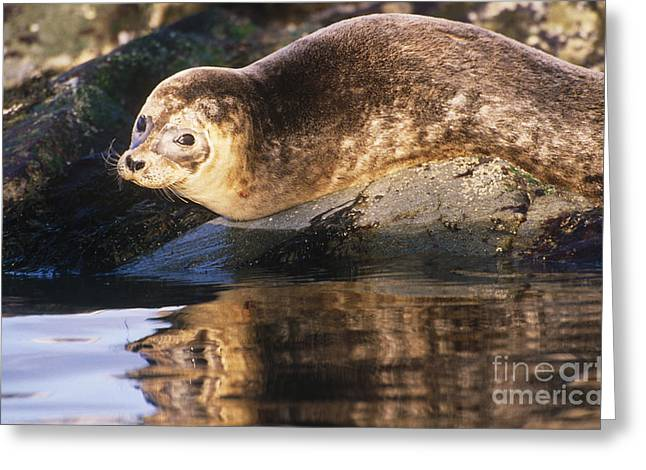 Harbor Seals Greeting Cards - Harbor Seal Greeting Card by Art Wolfe