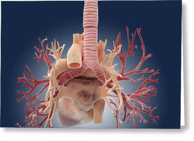 Pulmonary Vein Greeting Cards - Heart and lungs, artwork Greeting Card by Science Photo Library