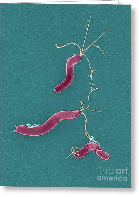 Campylobacter Pyloridis Greeting Cards - Helicobacter Pylori Bacteria, Sem Greeting Card by Spl