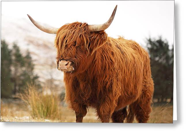 Scotland Greeting Cards - Highland Cow Greeting Card by Grant Glendinning